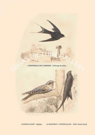Chimney Swallow, Nightjar, White-Tailed Swift